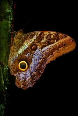 Butterfly- Owl Butterfly, Caligo atreus.jpg